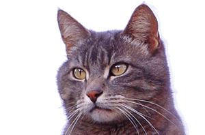 Dierenmissies - Katten ter Adoptie